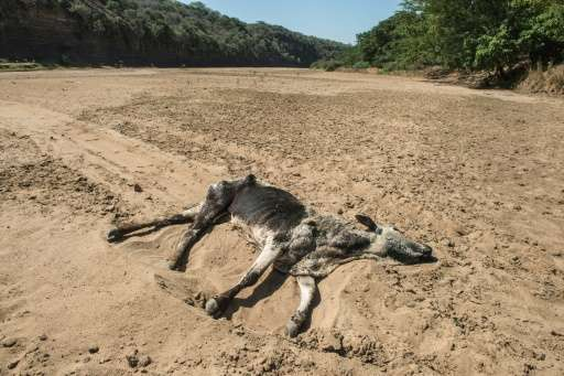 The carcass of a dead cow lies in the dry bed of Black Umfolozi River, in Nongoma district