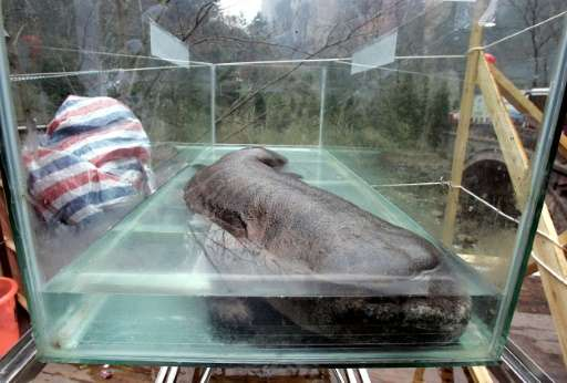 The Chinese giant salamander is the world's largest amphibian, capable of growing to 1.8 metres long