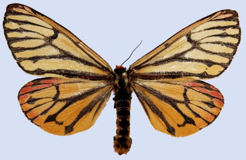 The devil's helmet for a legendary tiger moth