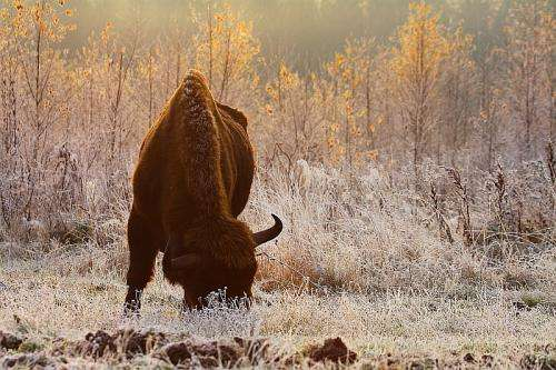 The european bison did not dwell in the forest