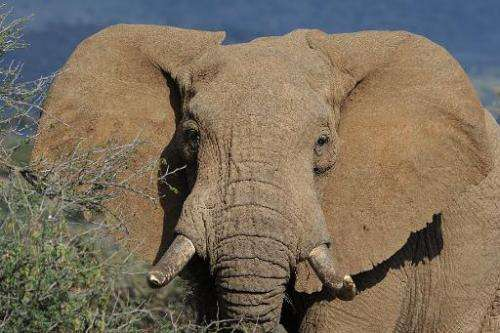 The latest figures from the International Union for Conservation of Nature show that the African elephant population dropped fro