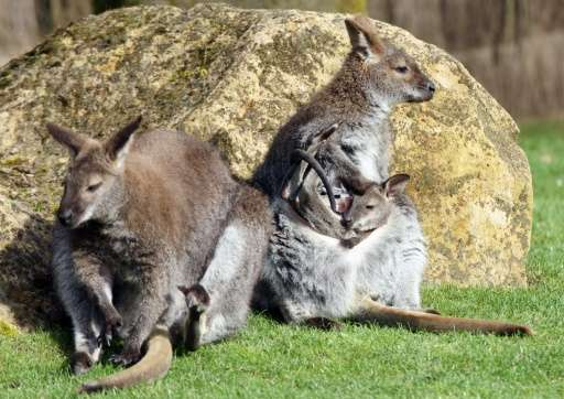 The red-necked Bennett's wallabies, which look similar but are much smaller than kangaroos, are originally from Tasmania