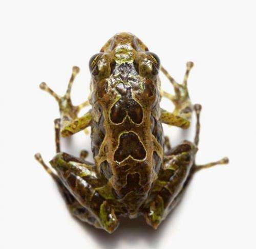 The tiny frog, dubbed Pristimantis mutabilis, which measures about two centimeters, was found in the misty forests of the Andes