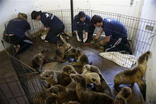 Things to Know about California's sea lion crisis