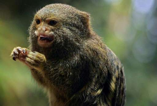 Three Pygmy Marmosets, similar to this one pictured on November 27, 2004, have been stolen from a zoo in the western German city