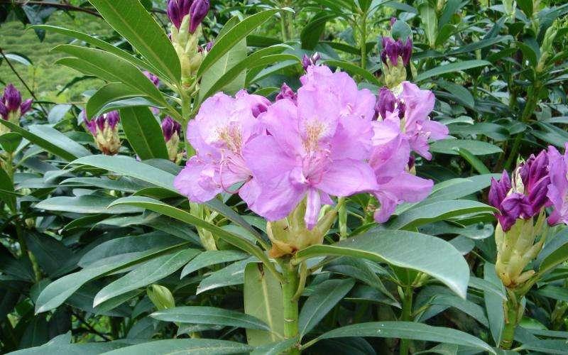 Toxic tastes—Ireland's bees and non-native rhododendron nectar