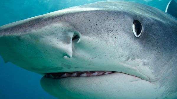 Tracking project reveals roaming tiger sharks
