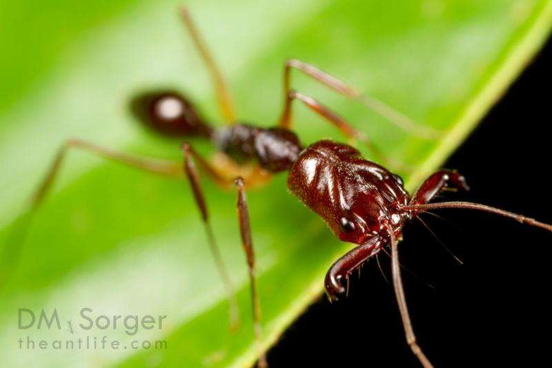 Trap-jaw ants exhibit previously unseen jumping behavior