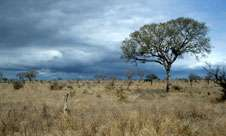 Tree domination of the world's savannas may slow down