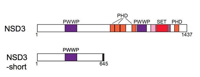 Unassuming 'Swiss Army knife'-like protein key to new cancer drug's therapeutic action
