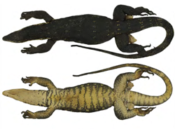 Undercover researchers expose new species of lizard for sale on Philippine black market