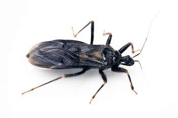US and Mexico must jointly combat Chagas disease