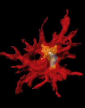USC neurogeneticists harness immune cells to clear Alzheimer's-associated plaques