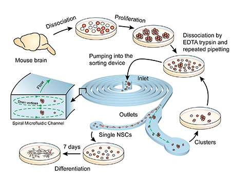 Using microfluidic devices to sort stem cells