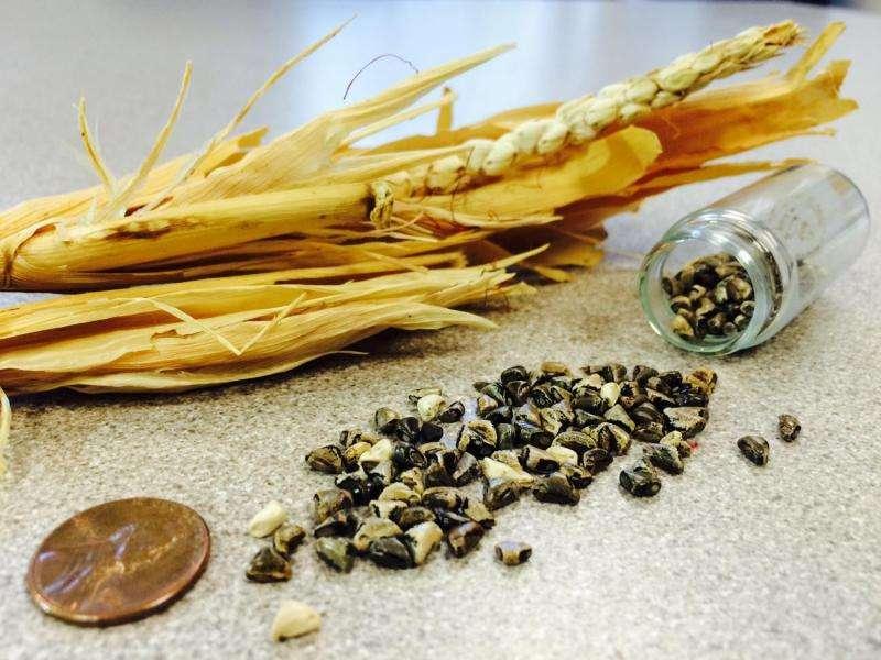 Un estudio de la UW muestra cómo un grano se desnudó y el maíz se convirtió en rey
