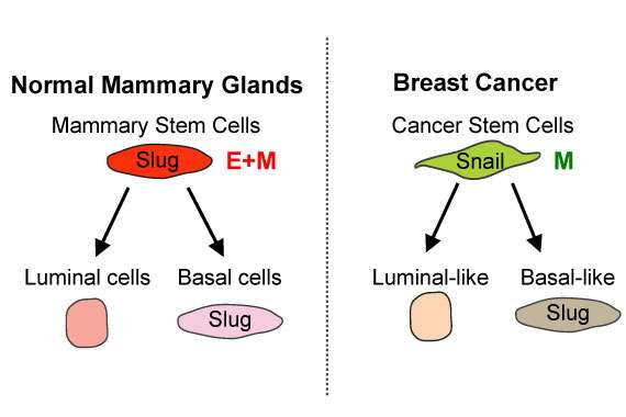 Variations in cell programs control cancer and normal stem cells