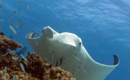 Volunteer divers asked to upload manta ray snaps for science