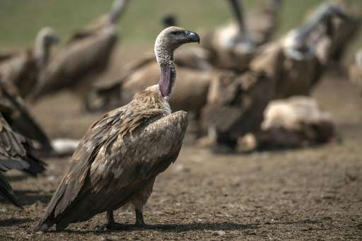Vultures, which mainly feed off the carcasses of dead animals, are falling victim to the widespread use of poisoned baits