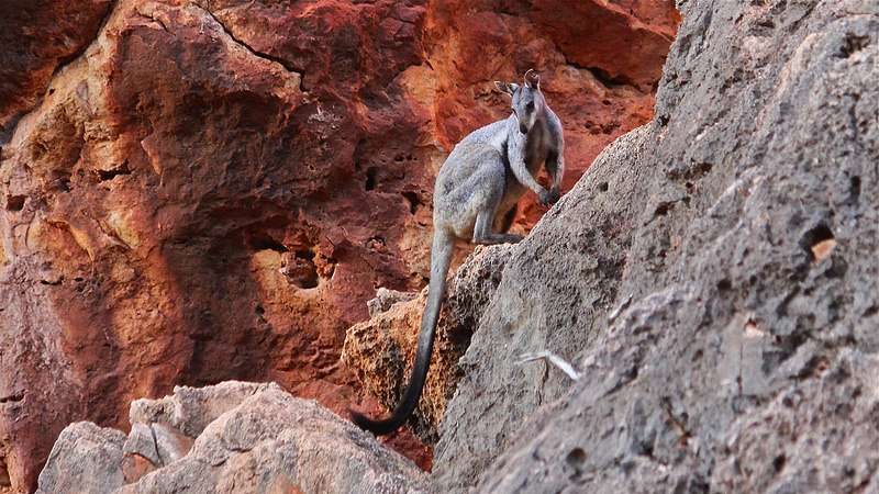 Wallaby sighting in Kalbarri the first in 20 years