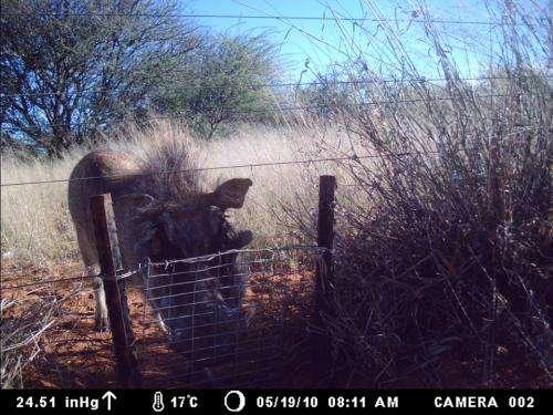 Warthog and swing gate