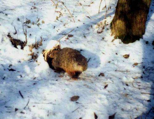 Why do groundhogs emerge on February 2 if it's not to predict the weather?
