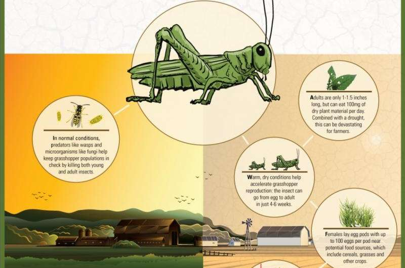 Why grasshoppers are plaguing Alberta's farms