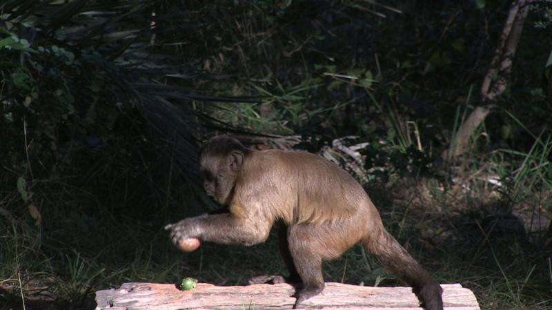 Wild bearded capuchin monkeys really know how to crack a nut