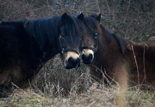 Wild horses in their enclosure in Milovice, a small town just east of the Czech capital of Prague