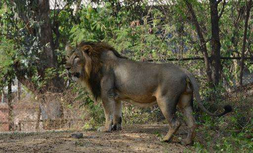 Wildlife experts have welcomed census figures showing India's population of endangered Asiatic lions have increased in the last