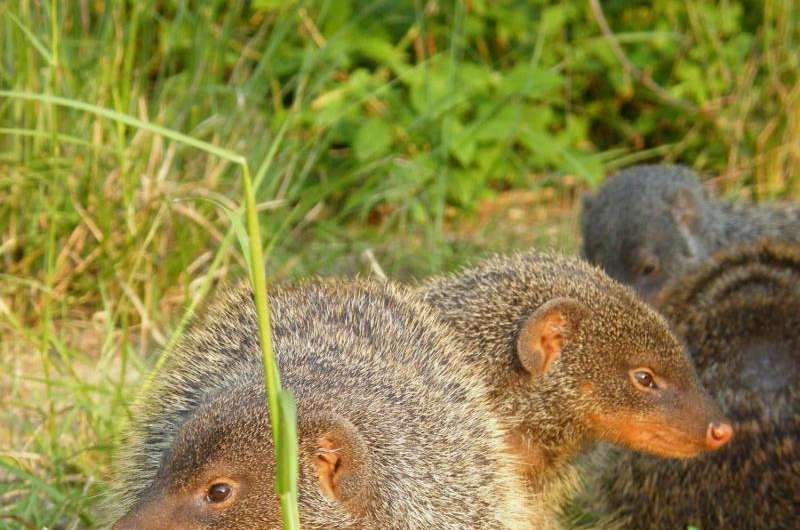 Wild mongooses avoid inbreeding with unusual reproductive strategy