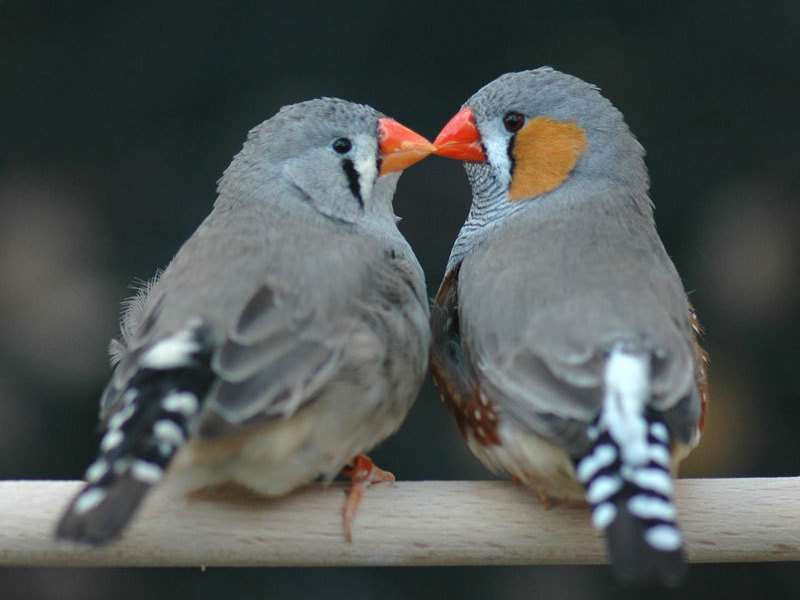 Zebra finch offspring benefit from love marriages