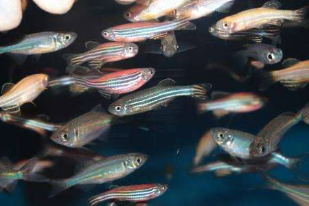 Zebrafish model gives new insight on autism spectrum disorder