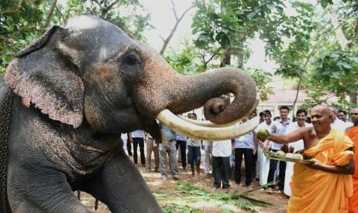 A buddhist monk feeds fruits to an elephant at a Buddhist temple in Sri Lanka