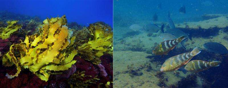 A marine heatwave has wiped out a swathe of WA's undersea kelp forest