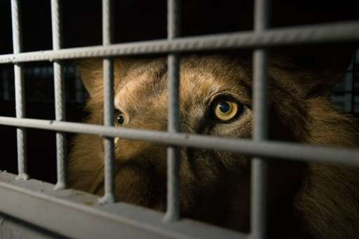 An African lion is seen in a cage as lions, that were born in captivity and held in circuses in South America, arrive at the OR