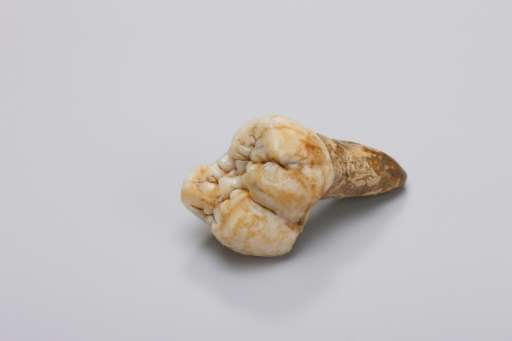 An undated picture provided by the Press Office of the Senckenberg Research Institute on January 4, 2016, shows examined tooth o