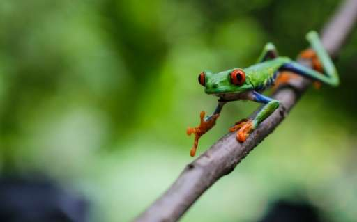 A red-eyed green frog (Agalychnis callidryases) photographed at the Montibelli private wildlife reserve, in the municipality of