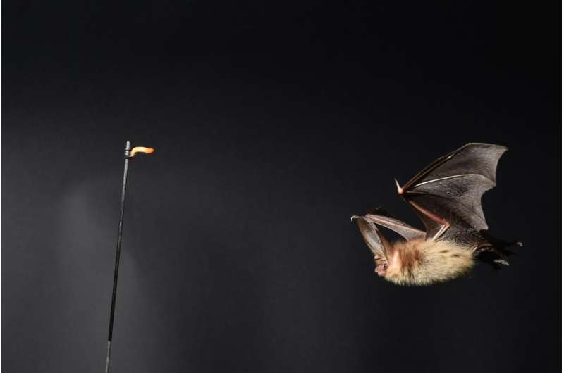 Bats' flight technique could lead to better drones