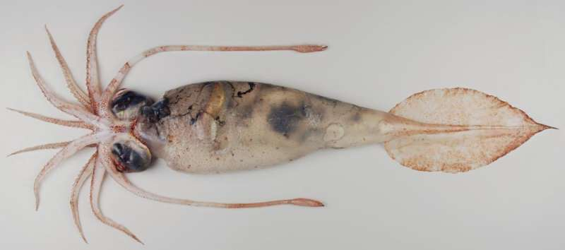 Closer look reveals how deep ocean squid uses 'leaky' optical fibers to disappear into the background