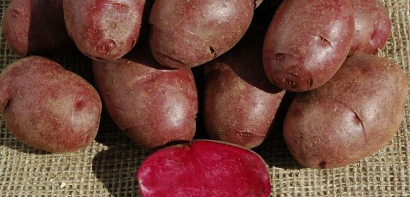 Colorado State University researchers develop nutrient-rich purple potato