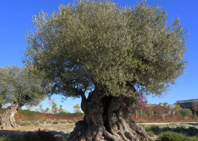 Decoding the complete genome of the Mediterranean's most emblematic tree: The olive