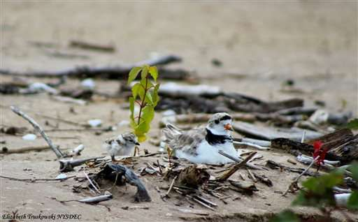 Endangered shorebird nests in NY; first time in over 30 years