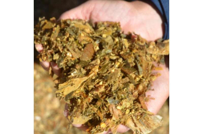 Forage sorghum management, hybrids determine silage value