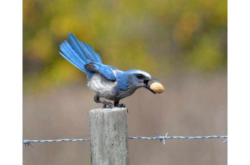 Genetic diversity crucial to Florida scrub-jay's survival