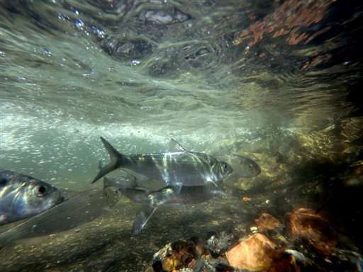 Herring spawn in NY tributary for 1st time in 85 years