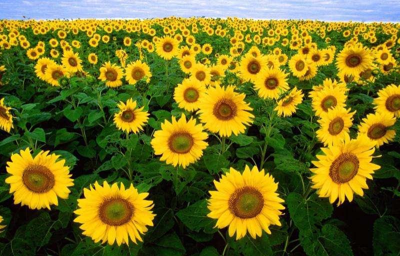 How sunflowers track the sun