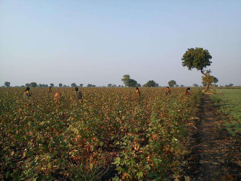 Indian cotton supply chain benefits traders, hurts farmers