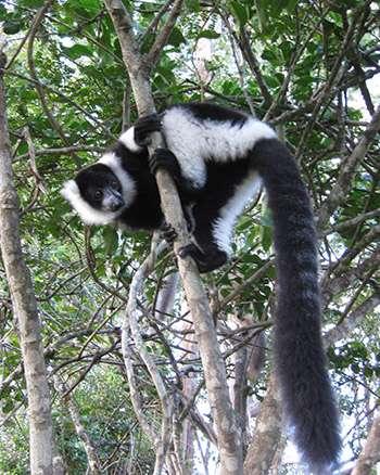 Lemur extinctions 'orphaned' some Madagascar plant species