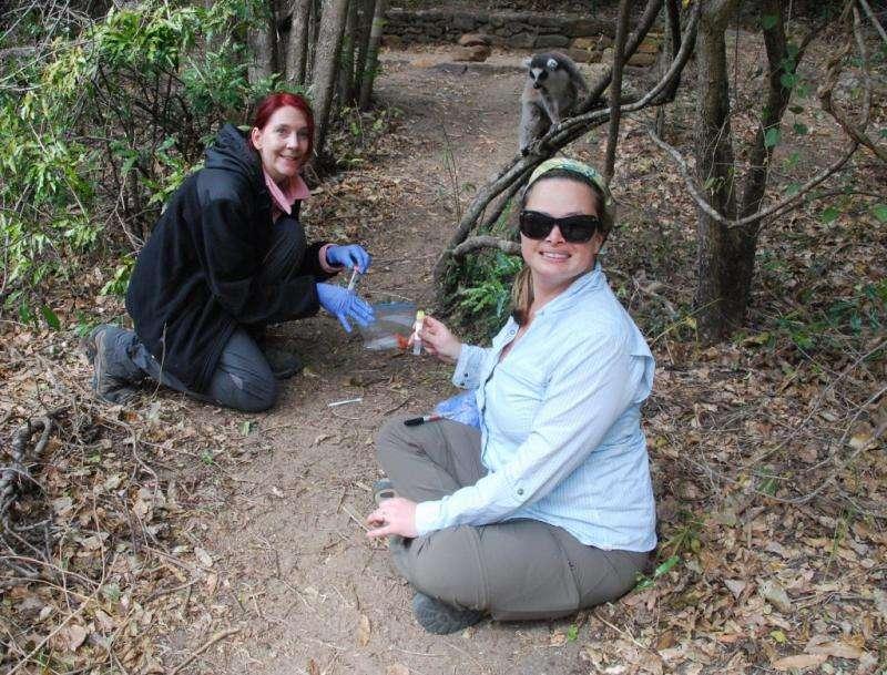 Lemur poop could pinpoint poaching hotspots