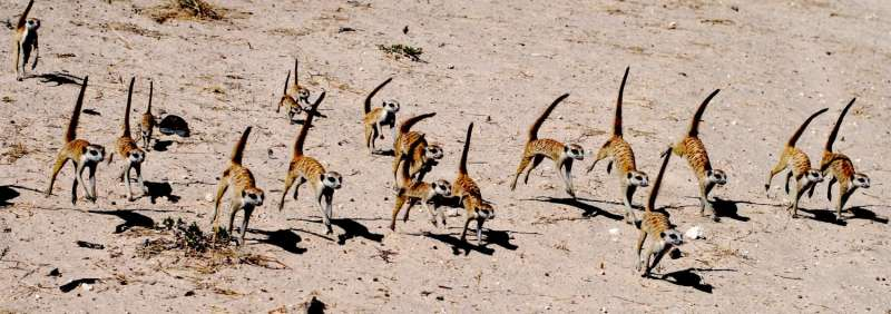 'Mean girl' meerkats can make twice as much testosterone as males